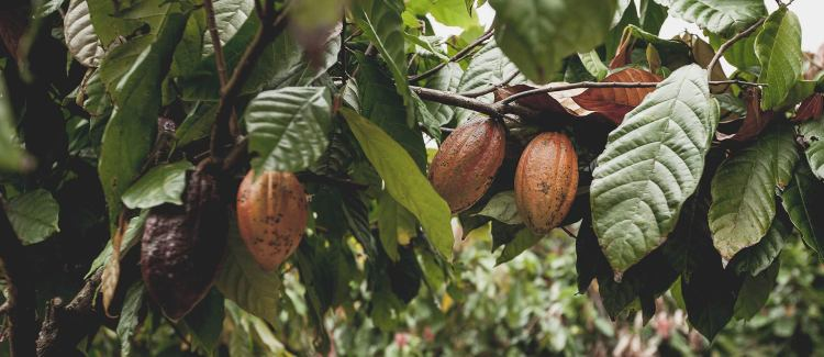 Cocoa+trees+and+pods